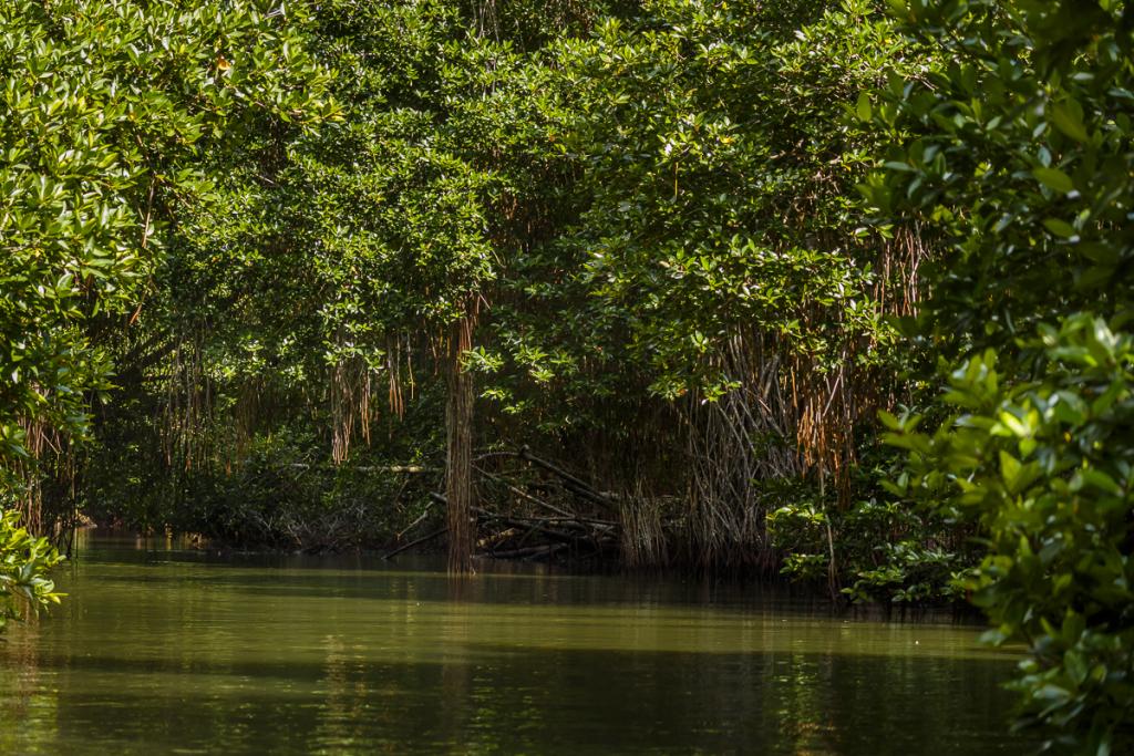 Mangroven am Bentota Ganga